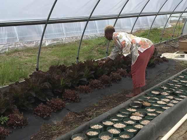 ปลูกผักกาดหอมใบแดง สลัดใบแดง