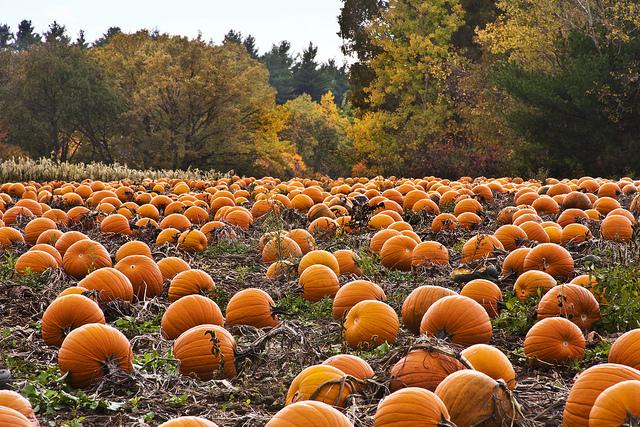 ปลูกฟักทอง Pumpkin