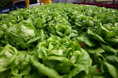 ผักกาดหอมบัตเตอร์เฮด (Butterhead Lettuce)