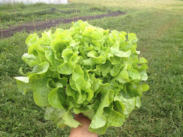 ผักกาดหอม โอ๊คลีฟ Oak Leaf Lettuce