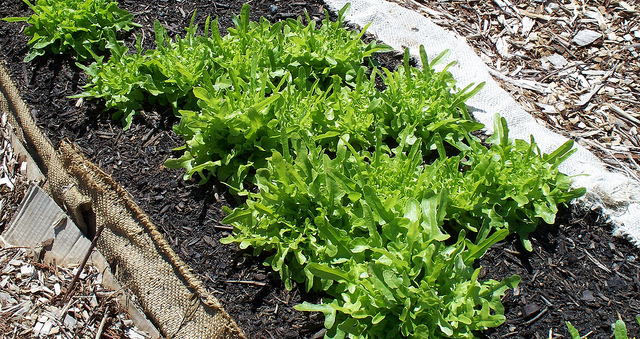 โอ๊คลีฟ oak leaf lettuce