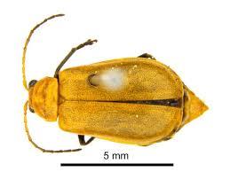Aulacopphola semilis Oliver