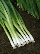 หอมญี่ปุ่น (Japanese Bunching Onion)